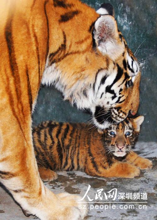 斑马妈妈对宝宝关切的叮咛(深圳野生动物园供图)