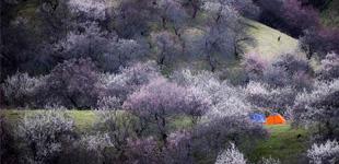 探访千年遗存的原始野杏林