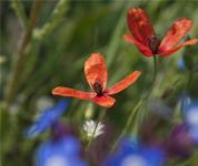 克里米亚野花