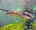 动物园引进多种海洋动物        动物园新引入这批海洋动物中的鳐鱼最为吸引游人眼球。