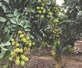 荔枝一个月后大量上市        驾车经过郊野农场,已见小商贩开始在路边摆卖荔枝。