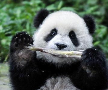 """大熊猫有了""""新家园"""""""