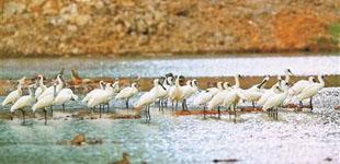 深圳湾候鸟提前报到 市民可报名观鸟        秋冬季是观鸟的最佳时节,今年深圳湾候鸟提前来深圳了,市民可关注其微信公众号报名观鸟。
