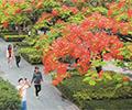 深圳凤凰树花开红似火        红红火火的凤凰花成了夏日热情的引领者。