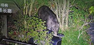 深圳梧桐山上频现野猪觅食